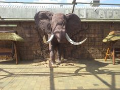 Elephant bursting through the wall