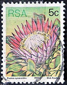 Republic of South Africa.  PROTEA CYNAROIDES.  Scott 479 A191, Issued 1977 May 27,  Lithogravured, Perf. 12 1/2, 5c.