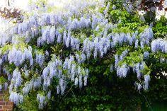Wisteria growing through trees Little Acorns, Wisteria, Planting, Garden Design, Trees, Plants, Tree Structure, Landscape Designs, Wood