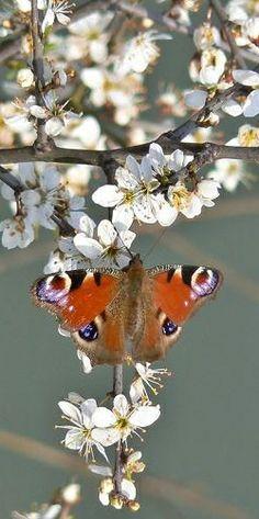 Junonia Coenia or Buckeye, Butterfly