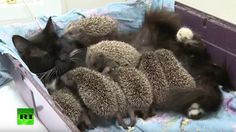 CAT ADOPTS HEDGEHOG BABIES A litter of eight baby hedgehogs (hoglets) became orphans when their mother was killed in a lawnmower accident. The hoglets were found and taken to a lactating cat named Musya.[https://youtu.be/NWB1ozn4skg] (YouTube link)Musya nurtures and feeds the hoglets like they were her own. She might have a little difficulty in grooming them. She probably feels sorry for these ugly kittens. -via Laughing Squid...