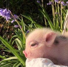 Fluffy Cows, Fluffy Animals, Animals And Pets, Pink Animals, Cute Little Animals, Cute Funny Animals, Cute Creatures, Beautiful Creatures, Baby Pigs