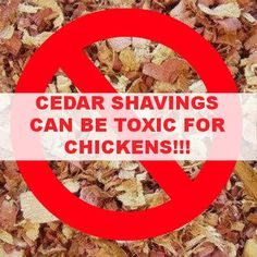In case you did not know, Cedar Shavings can be Toxic to Chickens! (and A LOT of other animals) Gage lists other alternatives to use in the bottom of your brooder and coop. Urban Chickens, Pet Chickens, Keeping Chickens, Raising Chickens, Backyard Farming, Chickens Backyard, Brooder Box, Hatching Chickens, Raising Ducks