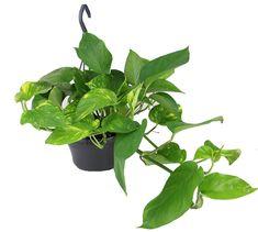 Epipremnum Aureum Epipremnum Zlociste Zielony Parapet Plant Leaves Parapet Plants