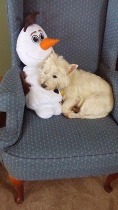 Westie with Olaf