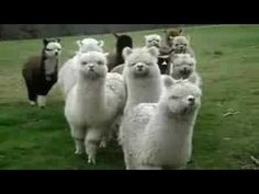 menacing alpacas to the tune of Star Wars' Imperial March. I'm sorry, I just couldn't resist something with the words 'menacing' and 'alpaca' in the same sentence. Alpacas, Best Video Ever, Happy Star Wars Day, Llama Alpaca, Best Funny Videos, Creature Feature, The Fault In Our Stars, Love At First Sight, Funny Cute