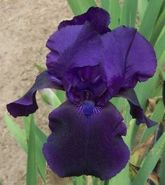 TB Iris germanica 'Ravenwood' (Lowry, 1961) .................. Rebloomer