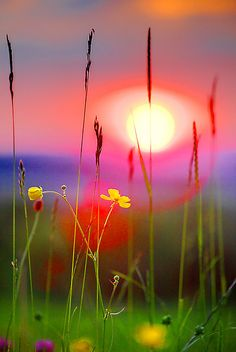 buttercup sunset, gloucester, england.