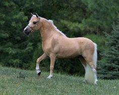 miniature horses | Red Valley Miniature Horse Farm - Miniature Stallions