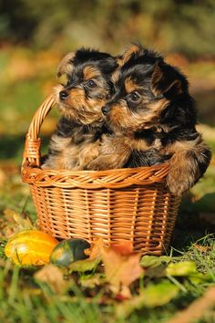 Here's Cute Yorkie Dog Pictures That You'll Love...
