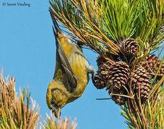 FanøNatur  Sagnet siger, at da Jesus hang på korset ville en lille fugl trække naglerne ud af hans hænder, men opnåede kun at få sit næb forvredet, så det ligner et kors. Det er så blevet til Lille Korsnæb som på billedet.  Lige nu har den travlt med at få frø ud af koglerne - ja den må helt stå på hovedet for at nå det. Den yngler også her i den sidste vintermåned, så den har travlt.  Fuglen er fotograferet på skovlegepladsen.