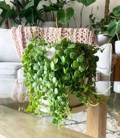 garden care tips Peperomia Prostrata Care - Hanging Plants, Indoor Plants, Potted Plants, Cactus Plants, Cactus Flower, Flower Pots, Peperomia Plant, House Plant Care, Miniature Plants