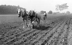Milford, Farming c.1955