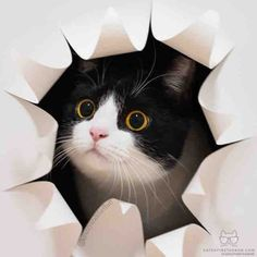 From @izzyandthefluff: peekaboo! #twitterweek #catsofinstagram [source: https://www.instagram.com/p/BModyxABHxk/ ]