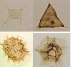 Some acritarchs showing the diversity of forms within the group. Images from UCL.