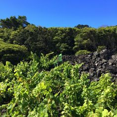 Open-air art gallery in the middle of a vineyard on Pico Island in #Azores - via Lonely Planet 13-07-2017 | An open-air gallery, open 24 hours a day, in the middle of a vineyard on Pico Island in the Azores, has become an unlikely tourist attraction.