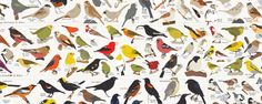 BIRDS OF NORTH AMERICA. Every single bird species that can be found in North America -both native and introduced. Pop Chart Lab   Design + Data = Delight   Birds of North America