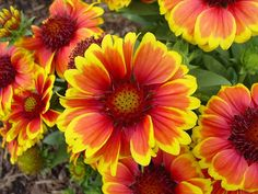 Gaillardia ~ Blanket Flower Plant Care Guide and Varieties | Auntie Dogma's Garden Spot