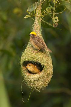 Baya Weaver Ploceus philippinus proud of their new nest Most Beautiful Birds, Pretty Birds, Beautiful Creatures, Animals Beautiful, Weaver Bird Nest, Nester, Black Bird Tattoo, Christmas Tree Inspiration, Bird Silhouette