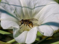 Striped fly in white flower