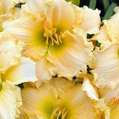 Southern Living Plant Collection 2.5 Qt. Joy of Living Family Reunion Daylily-2502Q - The Home Depot