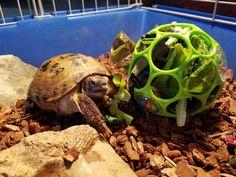 Tortoise House, Tortoise Food, Tortoise Habitat, Tortoise Table, Turtle Habitat, Sulcata Tortoise, Giant Tortoise, Russian Tortoise Care, Pet Turtle Care
