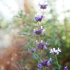 Salvia clevelandii     Purple-blue flower spikes rise above aromatic gray-green foliage in early summer. This sage, from Southern California and northern Baja, grows 3 to 5 feet tall, and 5 to 8 feet wide. Zones 8, 9, and 12–24.
