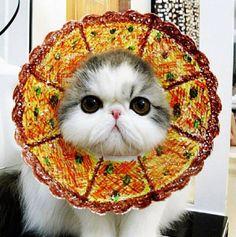 #cat #persian #cute