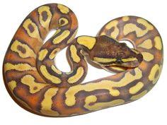 Enchi Mojave Yellow Belly - Morph List - World of Ball Pythons Unusual Pets, Unusual Animals, Python Royal, Danger Noodle, Python Regius, Ninja Sword, Ball Python Morphs, Cute Snake, Python Snake