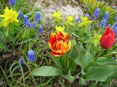 Euphorbia polychroma, muscari, tulip Garden Yard Ideas, Spring Green, Tulips, Planters, Home And Garden, Gardens, Life, Color, Tulip