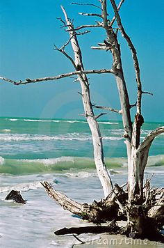 Driftwood, rooted.