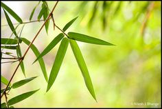 Bamboo Leaves | Flickr - Photo Sharing!