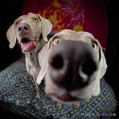Only a Weimaraner owner will understand this photo LOL hee her Funny Dogs, Funny Animals, Cute Animals, I Love Dogs, Puppy Love, Cute Puppies, Cute Dogs, Weimaraner Puppies, Weimaraner Funny