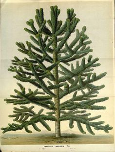 Monkey Puzzle, Chilean Pine - Araucaria araucana - Produces edible nuts valued in Chile - Estimated life span is 1,000 years - circa 1865