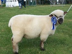 Prize Winning Dorset Down Country Fair, Town And Country, Dorset Sheep, Village Fete, English Village, Small Towns, Farm Animals, Beautiful Day, Trail