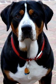 Hi! I love your blog so much. This is my handsome Greater Swiss Mountain dog named Bruce. He is 5 years old. Thank you!