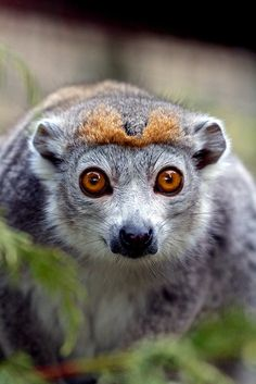 theanimaleffect:      Crowned lemur, Edinburgh Zoo by bonugli on Flickr.