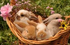 Llovinghome: Basket of Baby Bunnies Cute Baby Bunnies, Images Esthétiques, Nature Aesthetic, Fluffy Animals, Cute Little Animals, Fur Babies, Puppies, Aesthetics, Reptile Cage