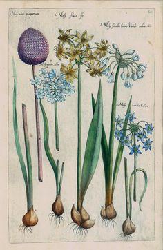 Emanuel Sweert - Moly atro purpureum