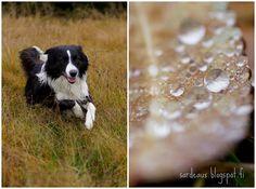 Sardeaux: Rainy Day #bordercollie #dog