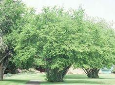 Corylus avellana - Oregon Filbert.  Great for natural, wild feeling privacy screen.