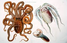 I Cefalopodi Viventi nel Golfo di Napoli (Sistematica) (1896)