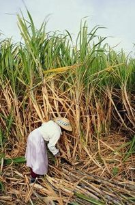 How to Grow Sugar Cane from Seed thumbnail
