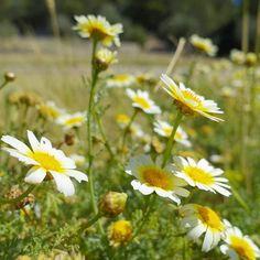 #Flores #campo #flower