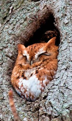 "(KO) A very chunky owl has stuffed himself in a hole in a tree. I hope his butt doesn't get stuck. He needs a little sign on his butt saying ""wide load"" to protect those behind him. Run up on this guy, birdies, and you will get a face full of bootie and a sore neck."