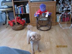 Ginger, red miniature poodle, she is 10 years old.