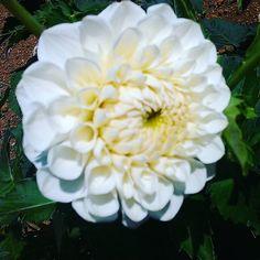 菊の一種!? #landscape