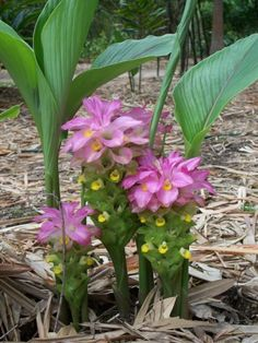 Curcuma australasica (Cape York Lily)