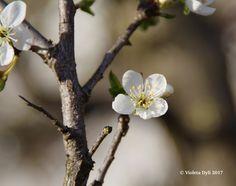 La Primavera sta arrivando in Italia ... Fotografia scattata il giorno 8 marzo 2017 .