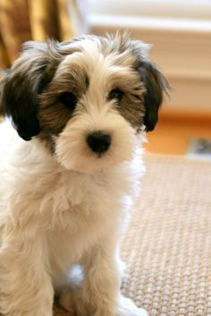 Little Henry. Tibetan Terrier.